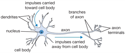 Multilayer perceptrons knetjl a biological neuron is a complex organism supporting thousands of chemical reactions simultaneously under the regulation of thousands of genes ccuart Gallery